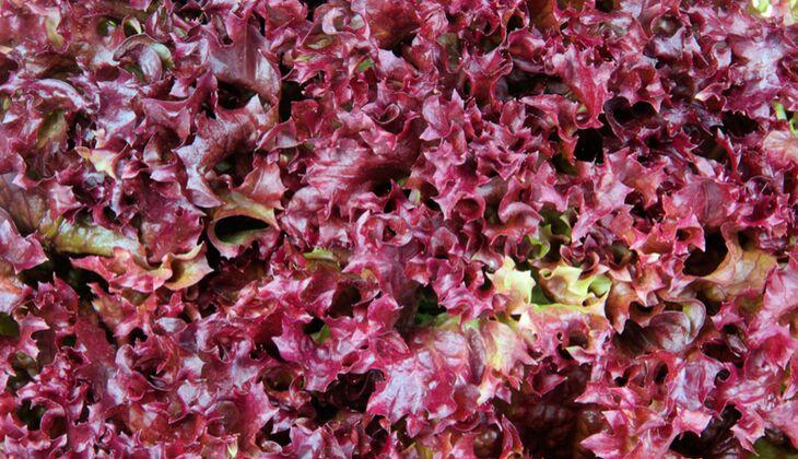 Salatsorten in der Übersicht: Lollo rosso